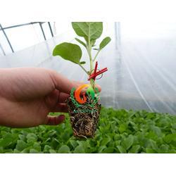 茄子苗|茄子苗|蔬菜种苗图片
