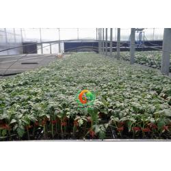 嫁接番茄苗、连云区番茄苗、蔬菜种苗(查看)图片