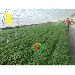 蔬菜苗,蔬菜育苗公司(在线咨询),蔬菜苗哪里的好图片