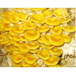 榆黄菇怎么吃、槐荫区榆黄菇、腾飞食用菌图片