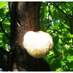 猴头菇种植、苏州猴头菇、腾飞食用菌图片