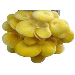 榆黄菇报价-腾飞食用菌-历城区榆黄菇图片