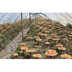 临沂灵芝,灵芝,腾飞食用菌图片