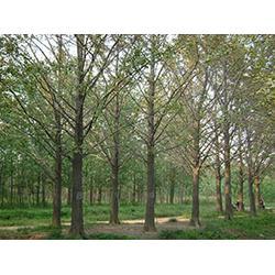 银杏树、13公分银杏树、山东瑞鑫银杏(优质商家)图片