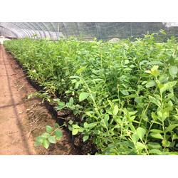 蓝莓苗基地、南充蓝莓苗、旭昇园艺场(查看)图片