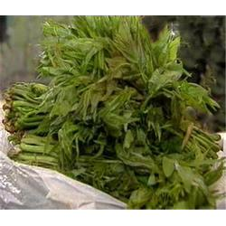 香椿苗、旭昇园艺场带您种苗木、香椿苗图片
