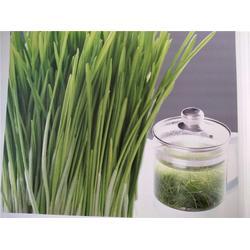 小麦草怎么种、辽宁小麦草、银发食品【绿色有机】图片