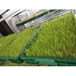 新鲜小麦草-河南新鲜小麦草-银发食品(天然有机)图片