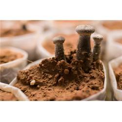茶树菇-茶树菇报价-翔龙农业发展亚博ios下载(优质商家)图片