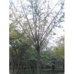 中国银杏苗木花卉网,中国银杏,大森林银杏图片