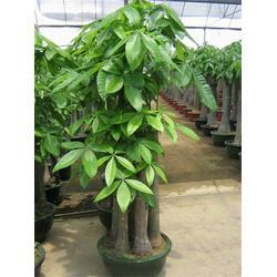 青山区植物租赁、绿艺轩、武汉植物租赁哪里好图片