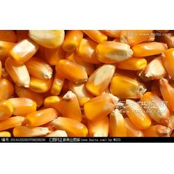 现款求购玉米、小麦、高粱、大米等酿酒原料图片