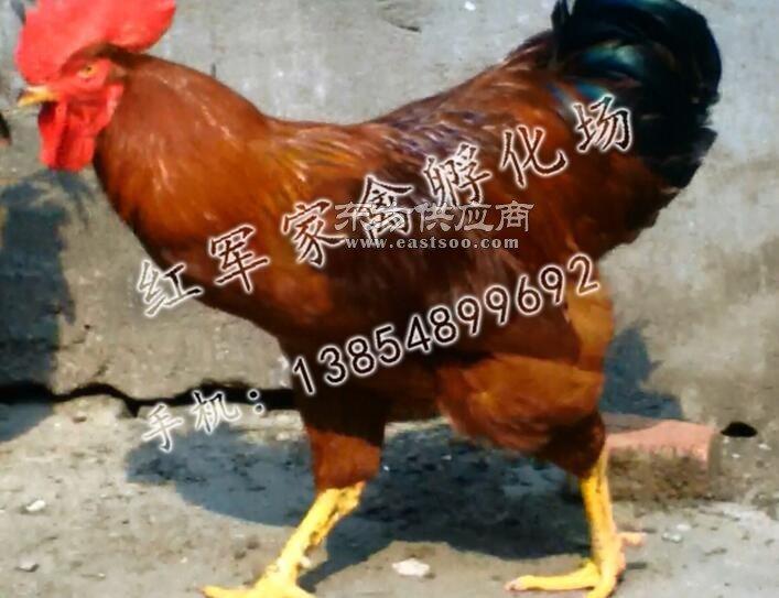 380红公鸡销售图片