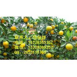 嫁接橘子苗基地,新品种橘子苗,橘子苗种植图片