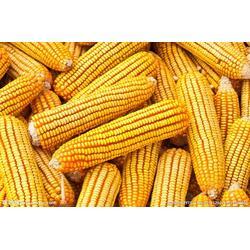 厂家收购玉米、收购玉米厂家、山西收购玉米图片