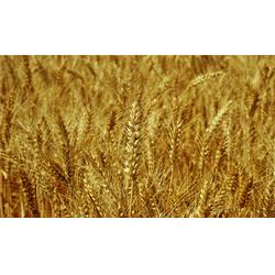 收购小麦、宏发科技(在线咨询)、收购小麦图片
