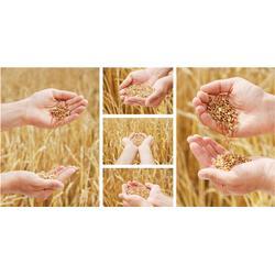 收购小麦_宏发科技_内蒙古收购小麦图片