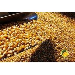 收购玉米,黑龙江收购玉米,哪里有收购玉米小麦图片