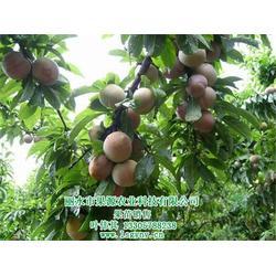 李子-李子有哪些品种-果源农业图片