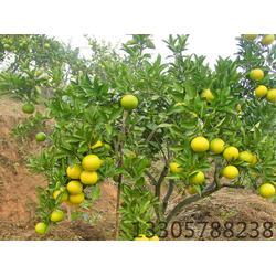 甜橘柚苗-甜橘柚-果源农♂业值得信赖(查看)图片