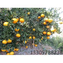 甜橘柚苗、甜橘柚、果源农⊙业品种优良(查看)图片