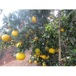 甜橘柚,果源农业品∮种多,甜橘柚情况苗图片