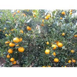 甜Ψ橘柚苗市场价-果源农业-不容错过-甜橘柚�e图片