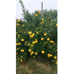 春香柑橘苗多少钱-春香柑橘苗-果源农业-优质保障(查看)图片