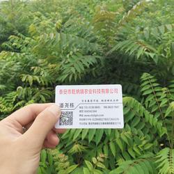 香椿苗、乾纳瑞农业科技、香椿苗供应图片