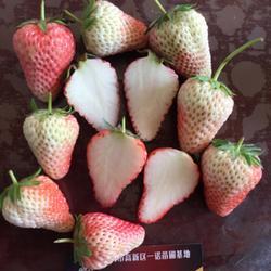 白草莓苗优点_呼和浩特白草莓苗_乾纳瑞农业科技(查看)图片