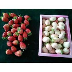 白雪公主草莓苗-乾纳瑞-宿州草莓苗图片