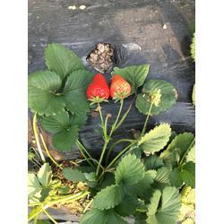 草莓苗_甘露草莓苗_乾纳瑞(优质商家)图片