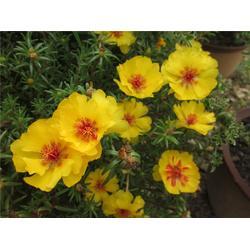 太阳花、芳青花卉苗、青州太阳花图片