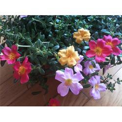 草花太陽花,芳青花卉苗,太陽花圖片