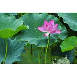 池塘栽植荷花,芳青花卉苗,荷花