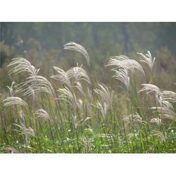 水生植物、芳青花卉苗、凈化水生植物圖片