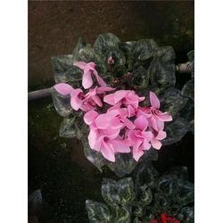 仙客来,芳青花卉苗,仙客来四季秋海棠