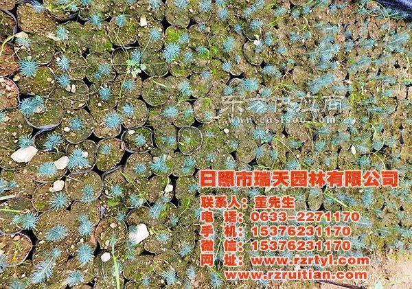 蓝杉苗,瑞天园林,蓝杉苗图片