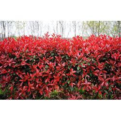 2-5公分红叶石楠-梅州红叶石楠-瑞天苗木(查看)图片