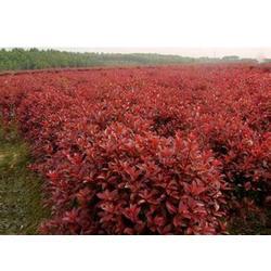 梧州红叶石楠小苗、红叶石楠小苗、瑞天园林(推荐商家)图片