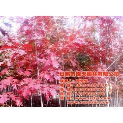 淮安歐洲紅櫟-瑞天農林-歐洲紅櫟圖片