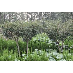 樱花小苗的、樱花小苗、瑞天园林(查看)图片
