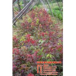 日本红枫苗基地-瑞天园林-黄石日本红枫苗图片