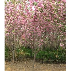 櫻花苗多少錢-郴州櫻花苗-泰安億發園林圖片