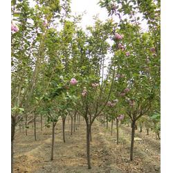 6-8公分樱花苗木、天津樱花苗、泰安亿发园林(多图)图片