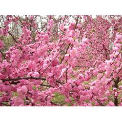 通辽榆叶梅苗、泰安亿发园林、榆叶梅苗图片