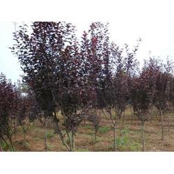 花卉紫叶李苗,常州紫叶李苗,亿发园林苗木(图)图片