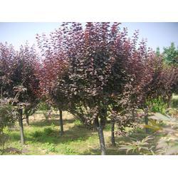 紫叶李苗报价、焦作紫叶李苗、亿发园林图片