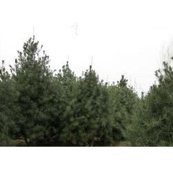 潍坊白皮松-泰安亿发园林-1米白皮松多钱图片