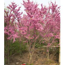 辽宁紫荆苗-亿发园林(优质商家)紫荆苗哪家便宜图片
